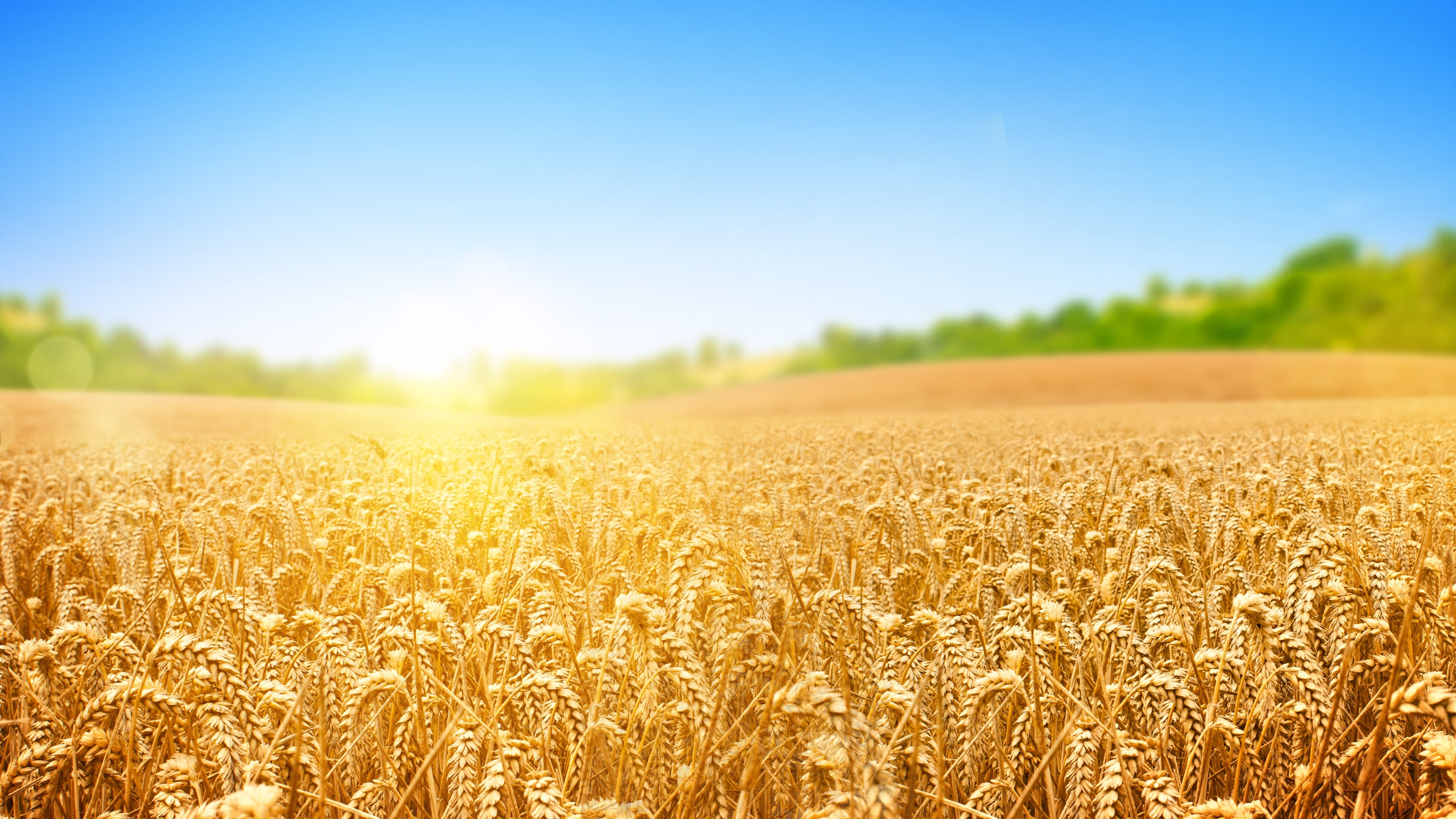 Wallpaper Field 4k Hd Wallpaper Wheat Spikes Sky: Creativity & The Master Of Wheat